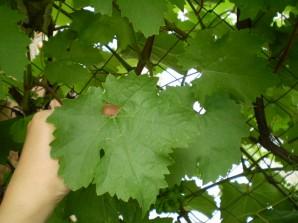 Листья для долмы на зиму - фото шаг 1