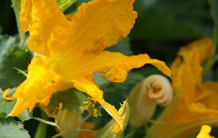 Жареные цветы кабачков - фото шаг 3