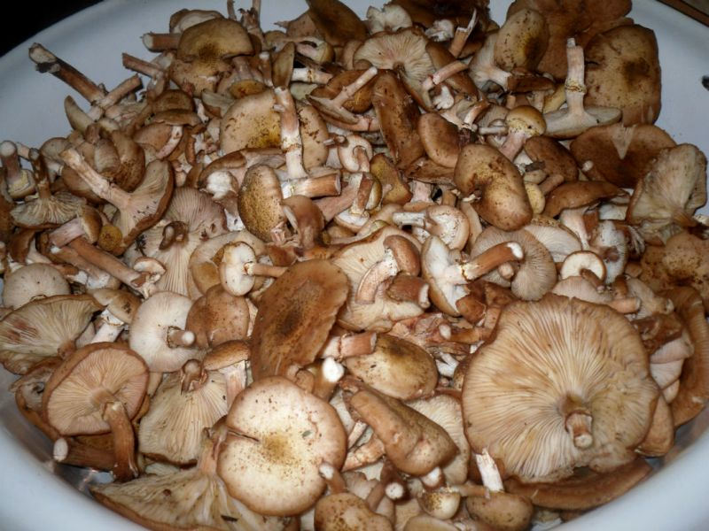 Рецепт Маринованные опята с чесноком
