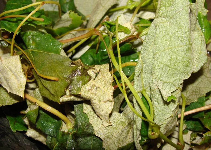 Рецепт Квас из виноградных листьев