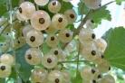 Варенье из смородины белой (киевское)