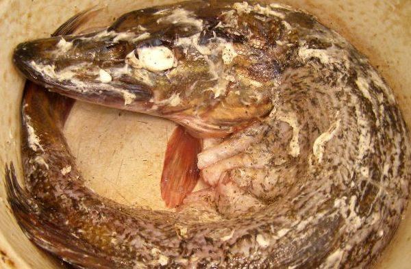 После чего обильно смазываем рыбу сливочным маслом.