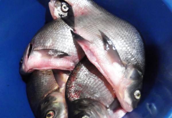 1. Лещ - очень вкусная рыба, которую можно приготовить разными способами. Очень вкусный получается лещ копченый в домашних условиях (при условии, если у вас имеется коптильня). Итак, рыбу нужно помыть и почистить.