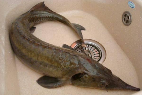 1. Рыбу тщательно моем, затем делаем аккуратный надрез на животике и удаляем все ненужное. Тщательно промываем рыбу изнутри. Я головы оставила для красоты, но вообще их и хвостики рекомендуют удалять.