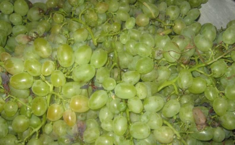 Тщательно перебираем виноград, гнилой удаляем. Мыть не нужно, ведь на ягодах находятся дрожжи, которые будут бродить.