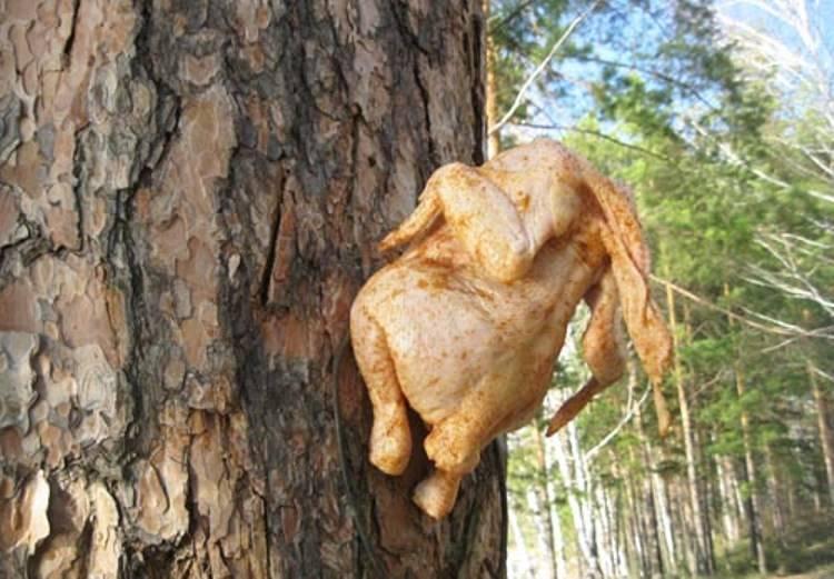 Разморозьте курицу, промойте. Натрите специями, перцем и солью. Положите в полиэтиленовый пакет для выпекания и оставьте на 2 часа мариноваться. После этого выберите курицу и подвесьте просушиться. Я повесил её на сучке ближайшего дерева.