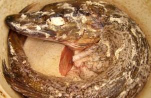 Щука в сметане в духовке - фото шаг 3