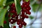 Варенье из красной черемухи